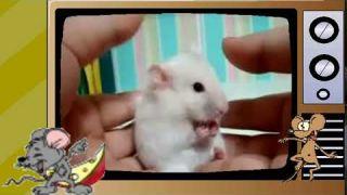 Мыши и Хомяк/Mice and Hamster